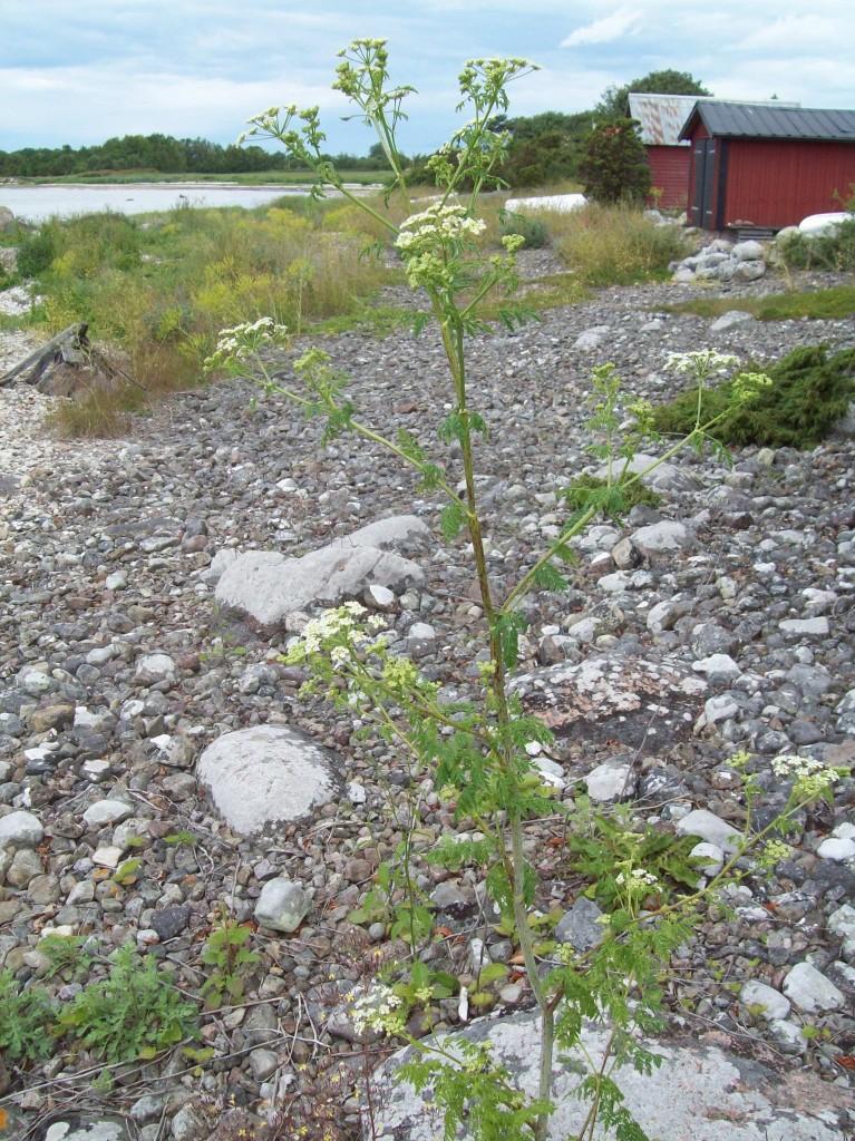 Odört (Conium maculatum)