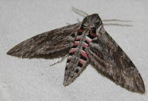 Åkervindesvärmaren är en av våra allra största fjärilar, och insektsarter. Håll koll på såpnejlikorna och blomstertobaken om kvällen!